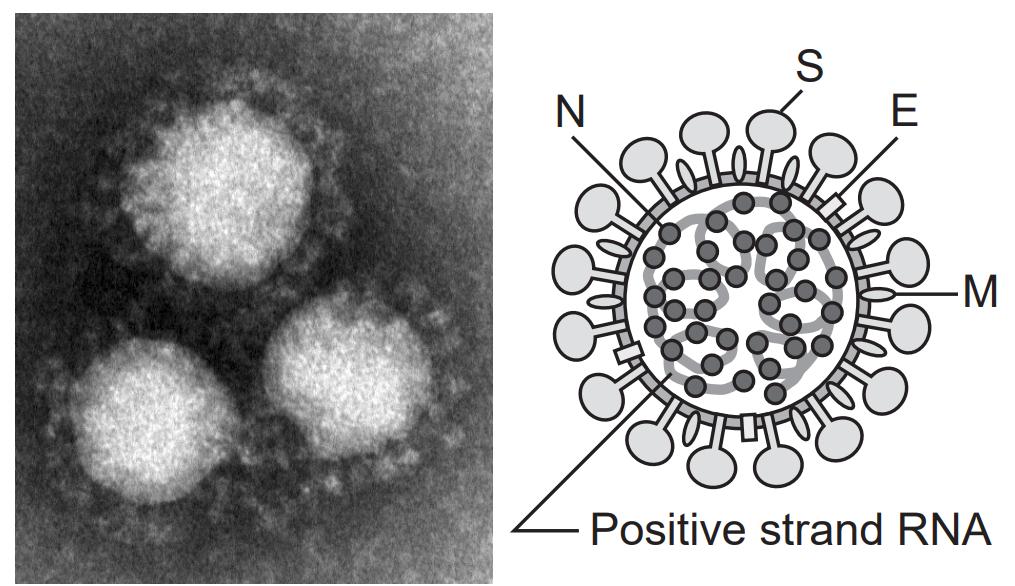 図6:新型コロナウイルスの構造(国立感染症研究所)